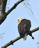 Striking a pose<br /> <br /> Bald Eagle<br /> Conowingo Dam, Maryland<br /> November 2011