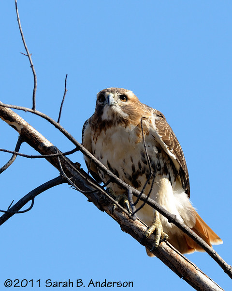 Red-tailed hawk gets ready to fly in 3-2-1<br /> <br /> Fairfax County, Virginia<br /> February 2011