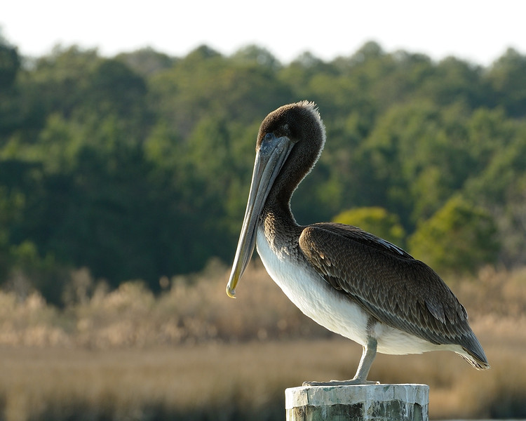 Brown Pelican<br /> <br /> Tyler's Cove, Hooper's Island<br /> Dorchester County, Maryland<br /> <br /> January 2012