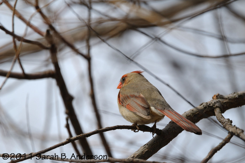 Female Cardinal listening for the right guy<br /> <br /> Occoquan NWR<br /> Woodbridge, VA<br /> March 2011