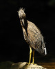 Recently-fledged Yellow-crowned Night Heron<br /> Montgomery County, Maryland<br /> July 2011