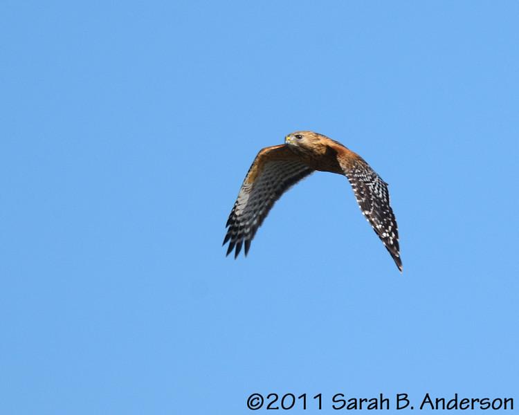 Red-shouldered Hawk<br /> <br /> Occoquan NWR, Virginia<br /> April 2011