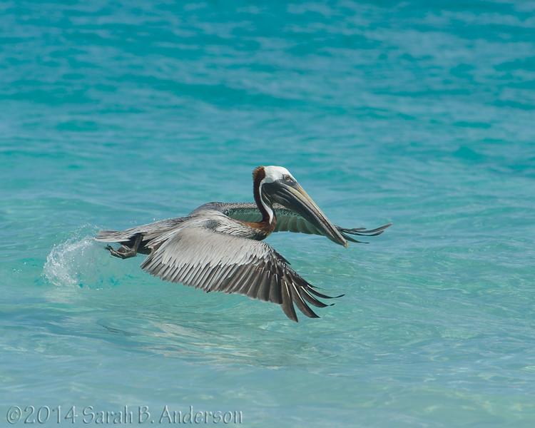 Brown Pelican takeoff<br /> St. John, USVI<br /> April 2014