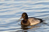 Lesser Scaup<br /> Cambridge, Dorchester County, MD<br /> December 2013