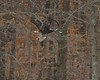 Eagles tangled, fish: flying<br /> <br /> Fairfax County, Virginia<br /> January 2012