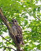 Barred Owl<br /> <br /> C&O Canal<br /> Montgomery County, Maryland<br /> May 2011