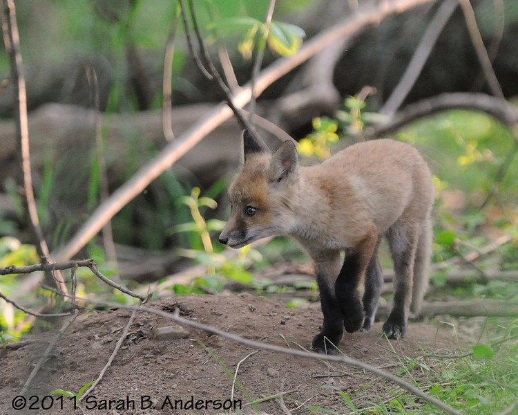 Fox kit catches a scent<br /> <br /> C&O Canal<br /> Montgomery County, Maryland<br /> May 2011