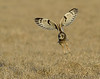Short-eared owl takes flight