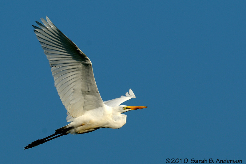 Great Egret soars over Hughes Hollow<br /> Montgomery County, Maryland<br /> <br /> August 2010<br /> Nikon D300, Nikon 400 2.8 AF-S I + Nikon 1.4tc