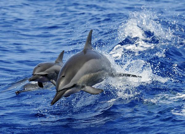 Mar 29, 2010 - a pod of spinner dolphins have fun.  Kona Coast
