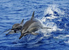 Mar 29, 2010 - a pod of spinner dolphins have fun.  Kona Coast