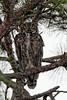 Great-horned Owl Resting in the Morning Light