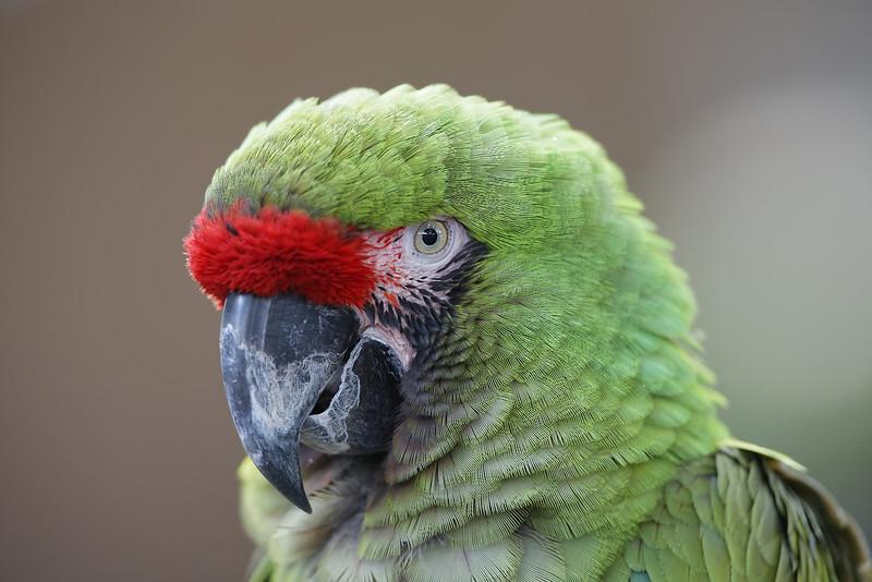 Military Macaw (captive)