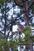 Great horned Owl Rests in the Longleaf Pine