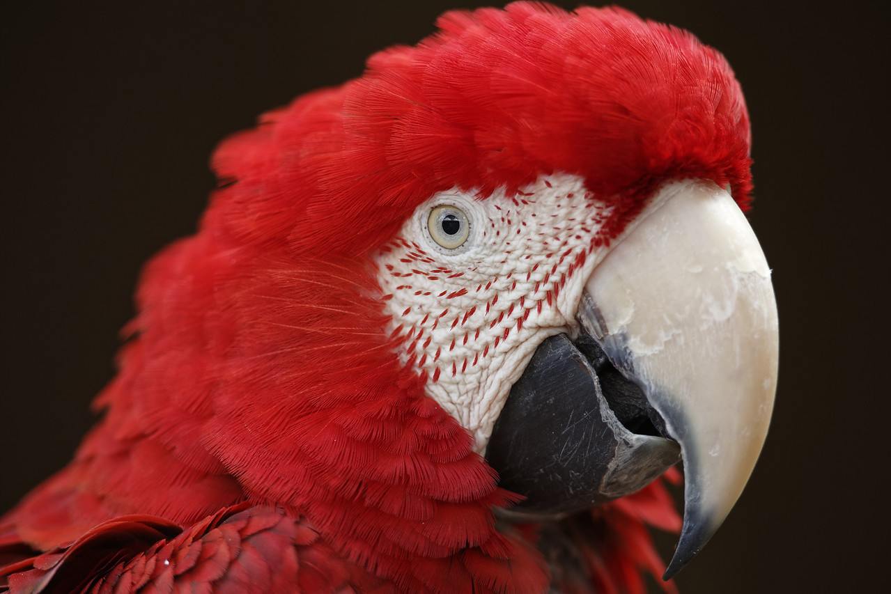Red-and-green macaw (captive)