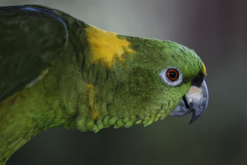 Yellow naped amazon parrot (captive)