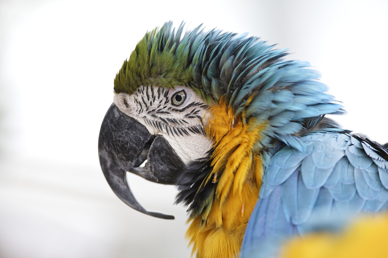 Blue-and-yellow macaw (captive)