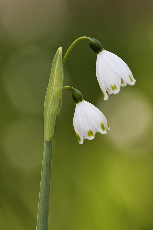 Spring snowflake pair
