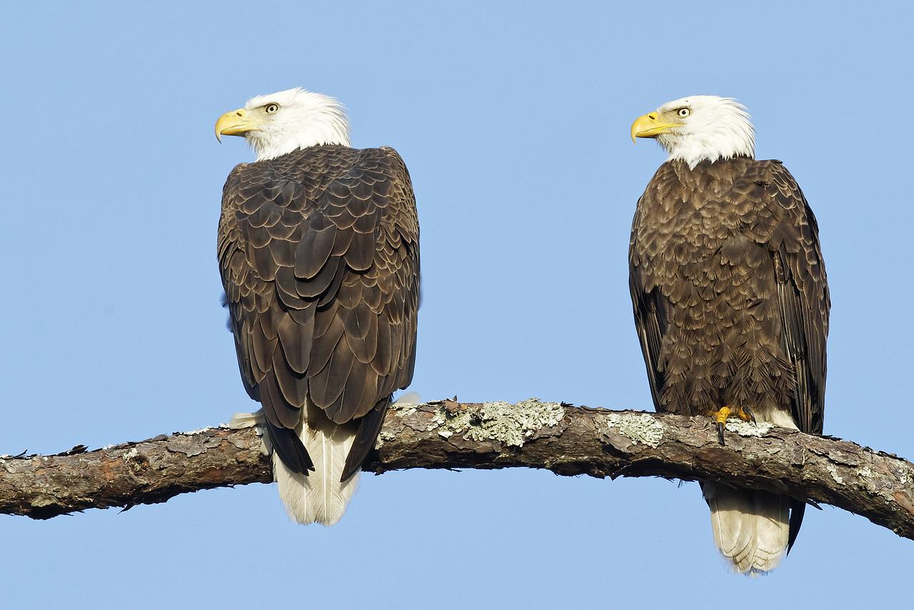 Bald Eagle Pair Roosting