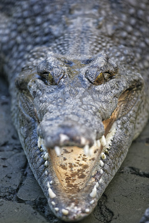 Saltwater crocodile (captive)