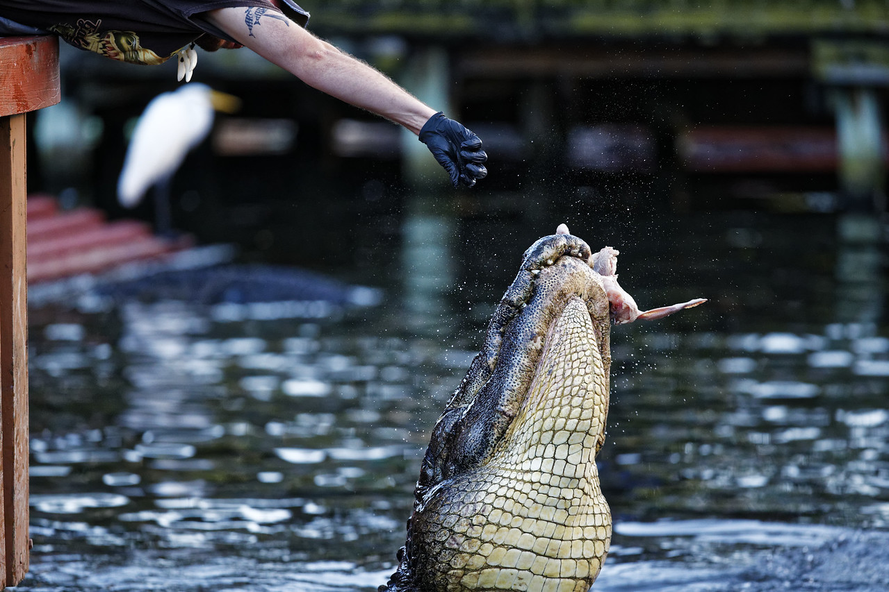 American alligator (captive) being fed at Gatorland