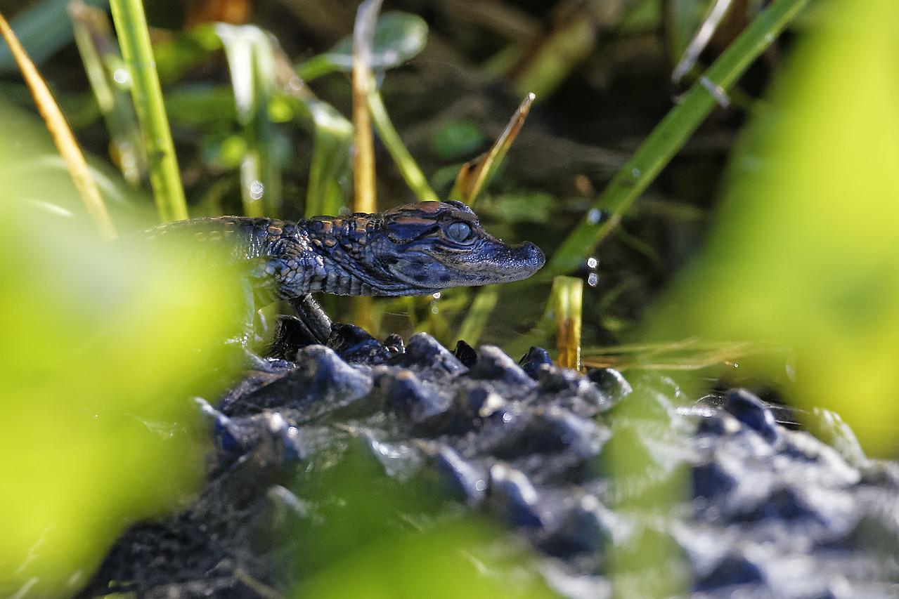 Juvenile American Alligator on its Mother's Back
