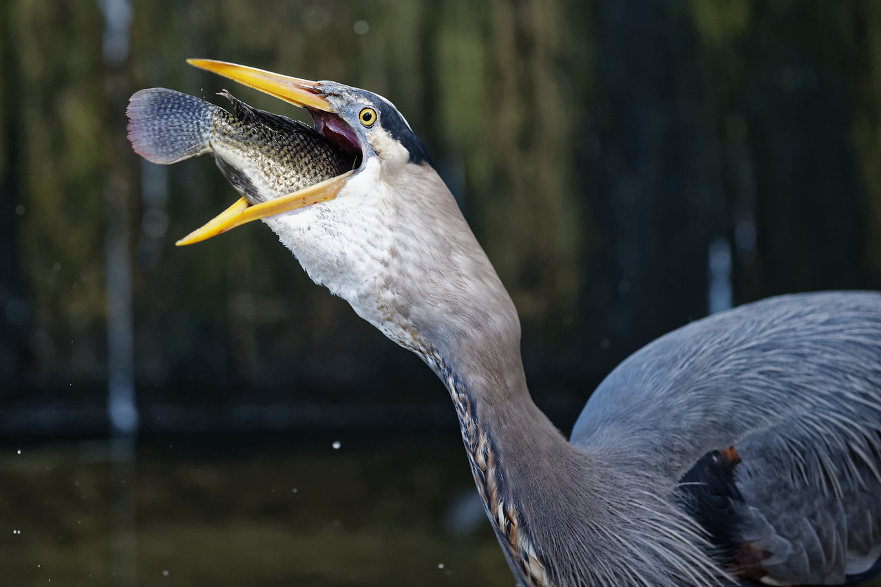 Great blue heron swallows a large fish