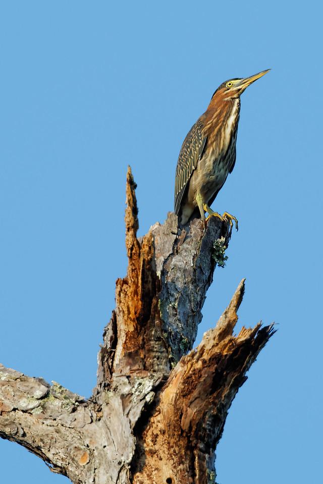 Green heron atop a Dead Longleaf Pine