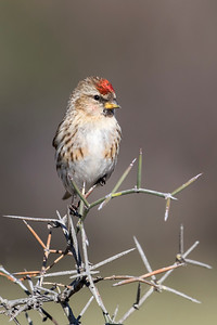 Redpoll  - female