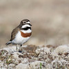 Banded Dotterel - male