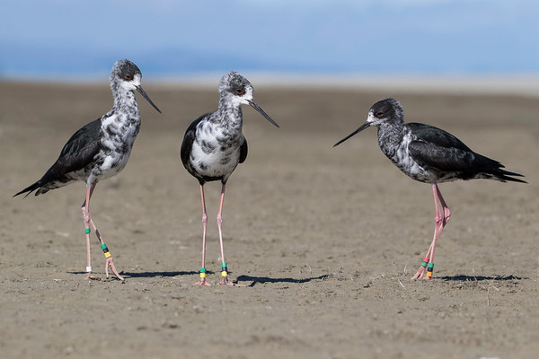 Juvenile Black Stilts