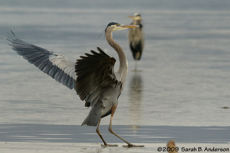 Great Blue Heron, skid landing<br /> Potomac River<br /> Fairfax County, Virginia<br /> January 2009