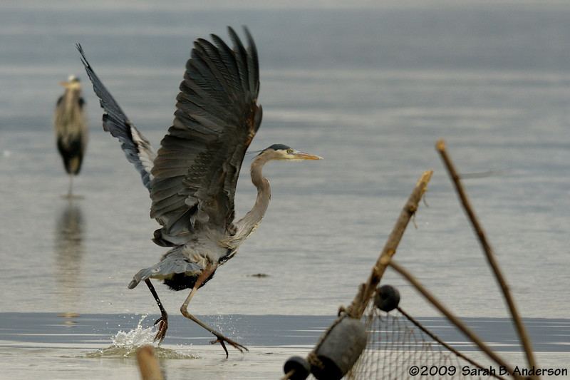 Great Blue Heron, doesn't like foot going through the ice<br /> Potomac River<br /> Fairfax County, Virginia<br /> January 2009
