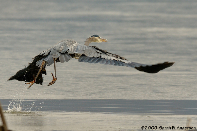Great Blue Heron, decides not to hang around after foot goes through the ice<br /> Potomac River<br /> Fairfax County, Virginia<br /> January 2009