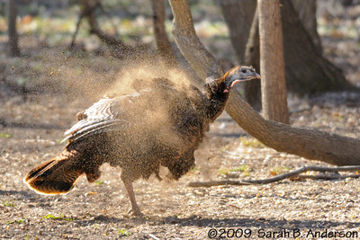 Sequence:  Wild Turkey after dirt bath - April 2009