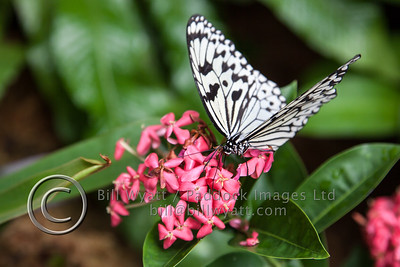 Singapore Butterfly 2