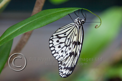 Singapore Butterfly
