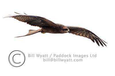 Black Kite 2