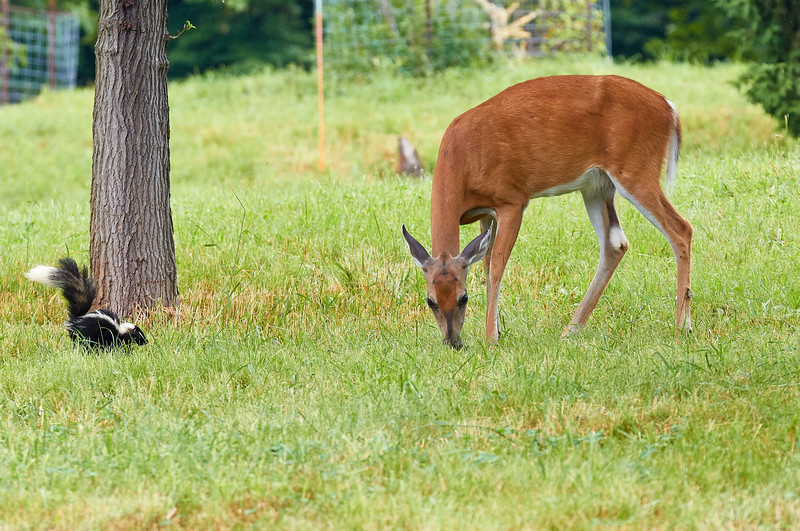 """""""Striped kitty"""" and White Tailed Deer"""