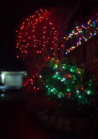 christmas bushes