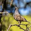 Callipepla californica | California quail | Schopfwachtel