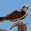 Pandion haliaetus | Osprey | Fischadler