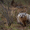North American Badger