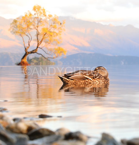 Wanaka Tree Duck