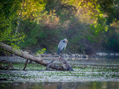 Great Blue Heron in the distance