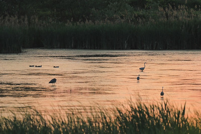 Great Herons Preparing to Sleep — Alváshoz készülő szürkegémek