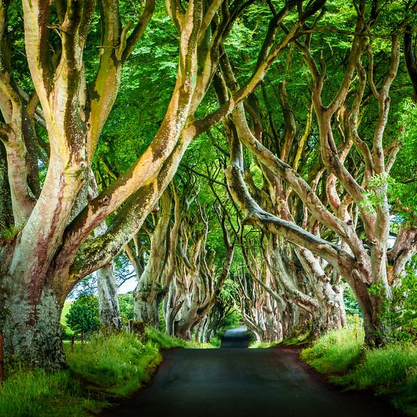 The Dark Hedges - Atmospheric Tree Lined Road