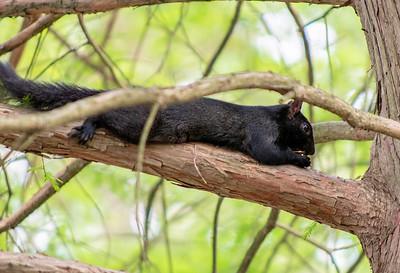 """""""Black Squirrel"""" Mariner Point Park, Joppa MD"""