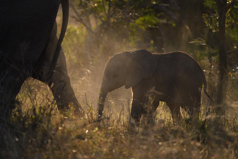 Baby Elephant; 500mm 1/2500 f/4 ISO 1,000