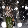 Long Eared Owl in snowstorm